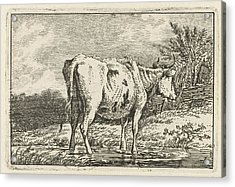 Cow Standing In A Puddle, Print Maker Anthony Oberman Acrylic Print