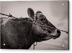 Acrylic Print featuring the photograph Cow With Flies by Bob Orsillo
