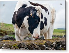 Cow With Head Turned Acrylic Print