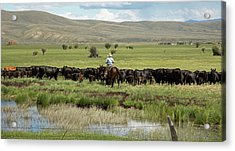Cowboy Herding On A Cattle Ranch Acrylic Print by Jim West