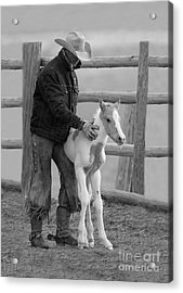 Cowboy Steadies Foal Acrylic Print by Carol Walker