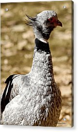 Cowlick Acrylic Print by Dick Botkin