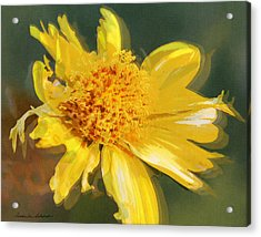 Cowpen Daisy No. 4 Acrylic Print