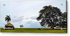 Cows And Shack - Australia Acrylic Print