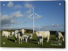 Cows And Windturbines Acrylic Print by Bernard Jaubert