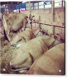 Cows At The Fair Acrylic Print by Christy Beckwith