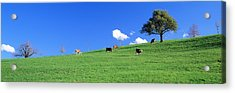 Cows, Canton Zug, Switzerland Acrylic Print by Panoramic Images
