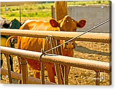 Cows Coming Home Acrylic Print by Artist and Photographer Laura Wrede