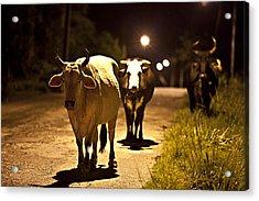 Cows Coming Home Acrylic Print