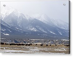 Cows Grazing Below Antero Mountain Colorado Acrylic Print