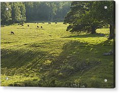 Cows Grazing On Grass In Rockport  Maine Acrylic Print by Keith Webber Jr