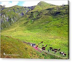 Cows In A Valley Acrylic Print