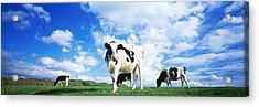 Cows In Field, Lake District, England Acrylic Print by Panoramic Images