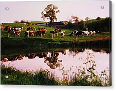Cows In The Canal Acrylic Print by Martin Howard