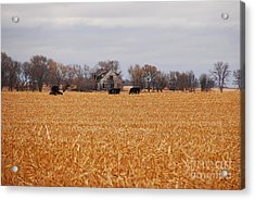 Cows In The Corn Acrylic Print by Mary Carol Story