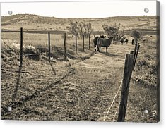 Cows In The Lane Acrylic Print