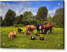 Cows Out To Pasture Acrylic Print
