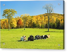 Cows Resting On Grass In Farm Field Autumn Maine Photograph Acrylic Print by Keith Webber Jr