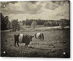Cows Rockport Maine Acrylic Print