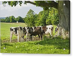 Cows Under Tree In Farm Field Summer Maine Photograph Acrylic Print by Keith Webber Jr