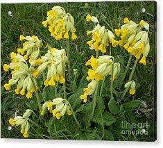 Cowslips Wildflowers. Acrylic Print by Ann Fellows