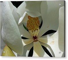 Acrylic Print featuring the photograph Coy Magnolia by Caryl J Bohn