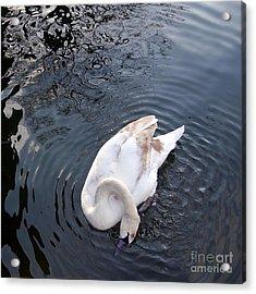 Coy Swan Acrylic Print