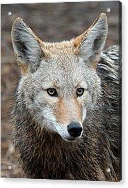 Coyote Acrylic Print by Athena Mckinzie