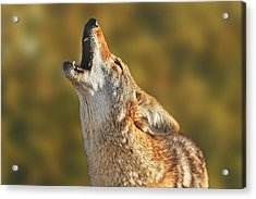 Coyote  Acrylic Print by Brian Cross