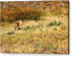 Coyote Catch Acrylic Print by Rebecca Adams