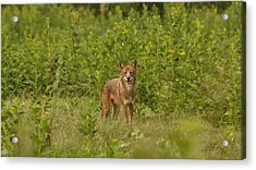 Coyote Happy Acrylic Print