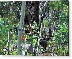 Coyote In Estes Park Acrylic Print