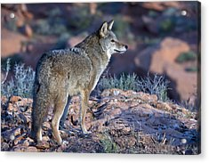 Coyote In The Southwest Us Acrylic Print by Kathleen Reeder Wildlife Photography