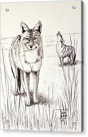 Coyote Life Acrylic Print