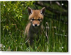 Acrylic Print featuring the photograph Coyote Pup by Mitch Shindelbower