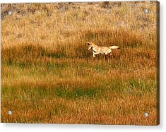 Coyote Pup Acrylic Print by Rebecca Adams