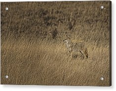 Coyote Standing In Field Of Dried Acrylic Print by Roberta Murray
