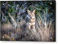 Coyote Stare Down Acrylic Print