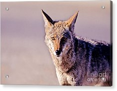 Coyote Stares Acrylic Print by Martha Marks