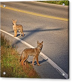Acrylic Print featuring the photograph Coyotes At The Crossroads by Peggy Collins