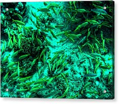 Cozumel - Grunt Fish 001 Acrylic Print by Lance Vaughn