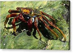 Crab Alert Brazil Acrylic Print by Bob Christopher