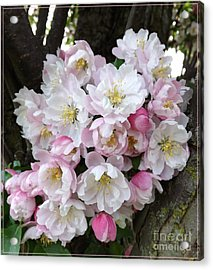 Crab Apple Blossoms Acrylic Print