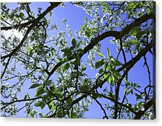 Crab Apple  Acrylic Print