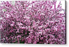 Crab Apple Tree Acrylic Print