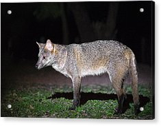 Crab-eating Fox Cerdocyon Thous Acrylic Print by Panoramic Images