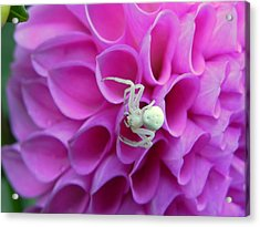 Crab Spider And Dahlia Acrylic Print