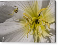 Crab Spider And Dune Evening Primrose Acrylic Print by Lee Kirchhevel