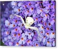 Crab Spider On A Buddleia Flower Acrylic Print