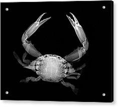Crab Acrylic Print by William A Conklin